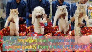 Imported line Persian cats special quality from VIKAS PET SHOP