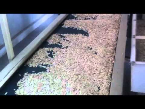 donki factory - cleaning for pumpkin seeds