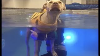 LIVE: Paralyzed Dog Swims at Water Therapy Session | The Dodo Live
