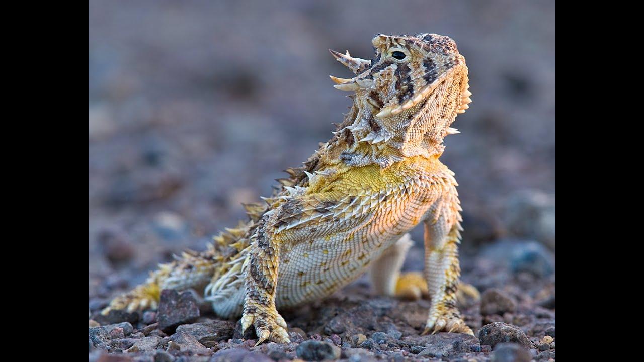 Horned Lizards / Phrynosoma - YouTube