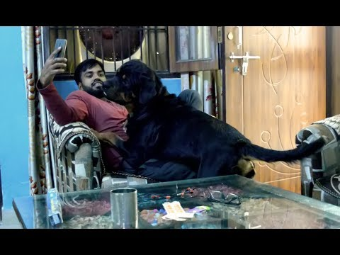 My Rottweiler is playing with me : annoying each other : [ Bolt ]