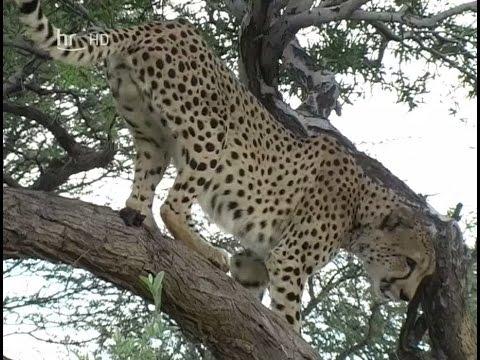 Der Sieg der Geparden