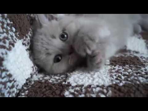 Шотландские Скоттиш фолд и Скоттиш страйт нам 3 недели - YouTube