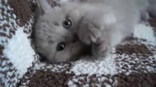 Шотландский котенок, скоттиш страйт