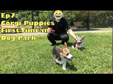 Corgi Puppy First Time in Dog Park [EP7]