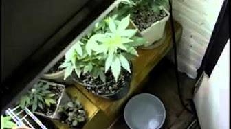 Выращивание марихуаны высший пилотаж принадлежность для курения марихуаны