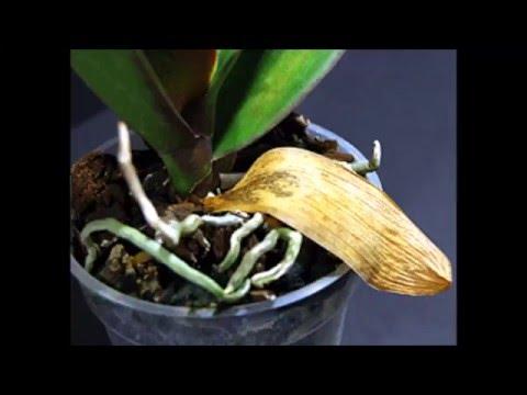 Почему желтеют листья у орхидей.