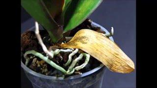 Смотреть видео орхидея желтеют листья