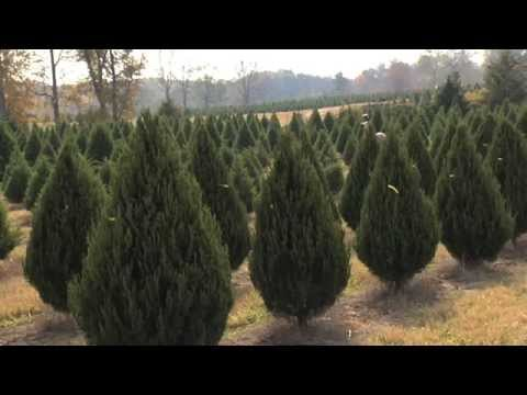 Christmas Tree Farms Prepare For Holiday Business