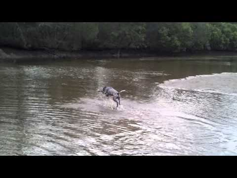 German Shorthaired Pointer's First Encounter With Water