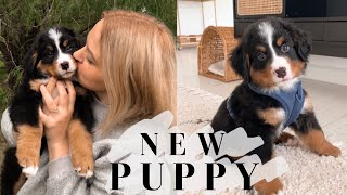WE GOT A PUPPY! getting our 8wk old bernese mountain dog puppy + puppy haul!