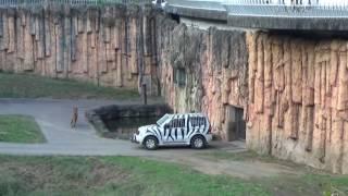 2015年10月下旬 多摩動物公園のライオン園 帰宅タイムにライオンの小競...