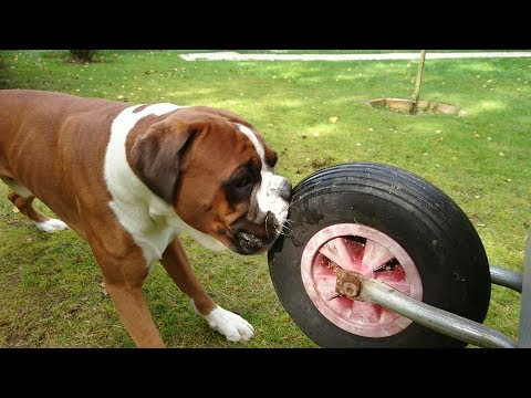 Funny Dog Attacking Wheel