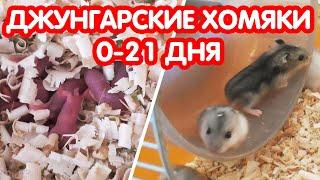 Джунгарские хомяки (0-21 дня)