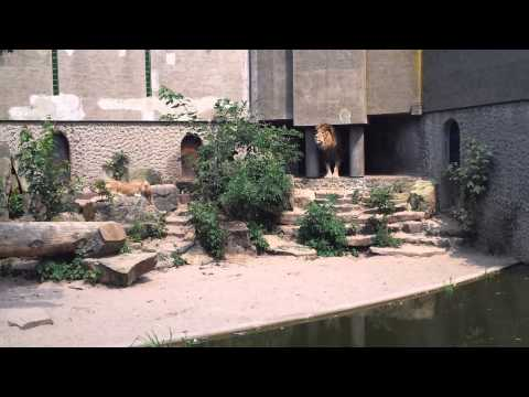 leeuwen pakken bijna reiger en vallen in water in Artis