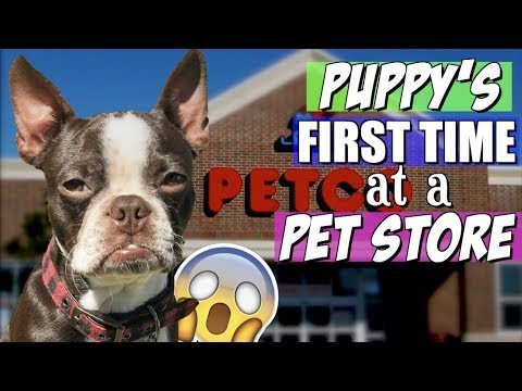 Boston Terrier Puppy's FIRST TIME at PETCO