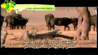 Jaws, Paws & Claws - Lions Behaving Badly (Part 2 of 4)