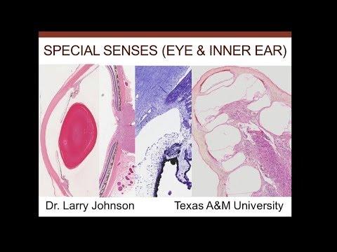 17. Medical School Histology. Special Senses (eye, inner ear)