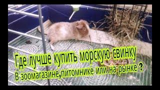 Svinki Family Blog :Где лучше купить морскую свинку?