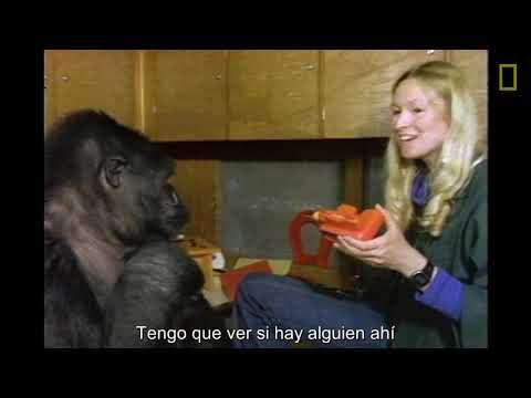 Koko utiliza el lenguaje de signos en un documental de 1981 | National Geographic en Español
