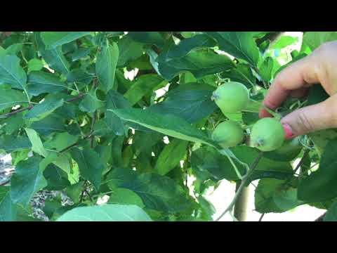 ЯБЛОКИ. Органическое прореживание плодов, сорта ГОЛДЕН и ФУДЖИ