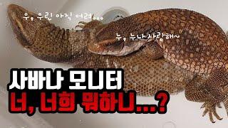 [#파충류]-#사바나모니터 처음으로 함께 온욕하기!_마…