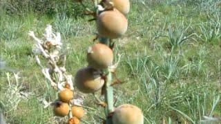 44 - Les fruits d'asphodèle, plante sauvage comestible - 30/04/2016