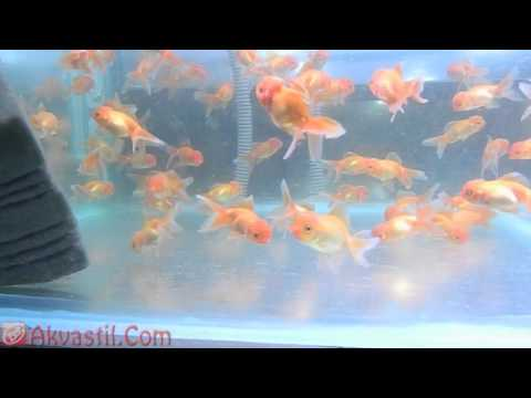 Золотая рыбка - форма Красная Оранда. Аквариумные рыбки. Аквариумистика.