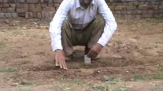 How to grow pea plant in Urdu by Syed Hassan