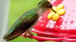 Ruby-throated Hummingbirds at One of 11 Feeders