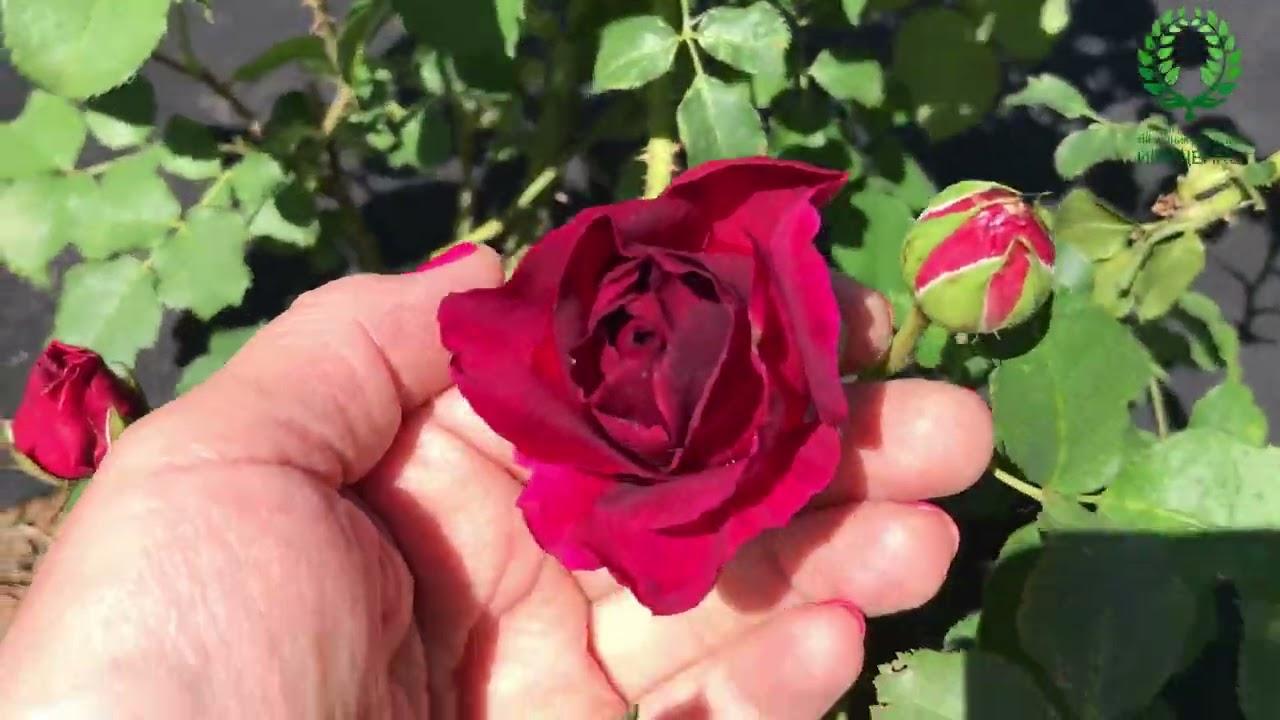 Болезни роз атаковали раньше времени. Как помочь? Рабочие препараты. Первое цветение пионов.