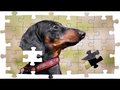 Puzzle mania! Funny dachshund dog video!