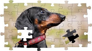 Puzzle mania! Funny dahchsund dog video!