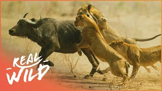 Lions Behaving Badly [Lion Pride Documentary] | Real Wild