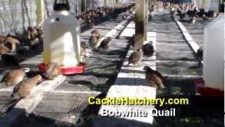Bob White Quail (Breeder Flock)