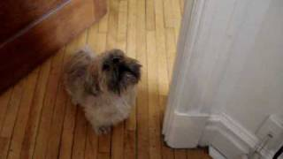 Our shih tzu crying when he hears his moms voice on answering machine.