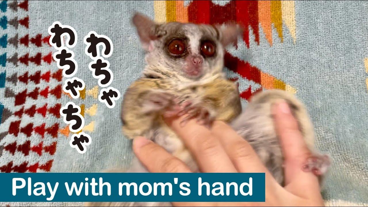 飼い主の手で遊ぶ小さな猿/The Bushbaby Plays with mom's hand/ ショウガラゴのピザトル