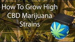 Growing CBD Dominant CANNABIS STRAINS Overview