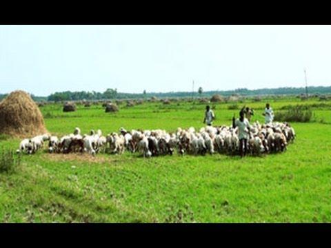 Goat Farming In A Village In Andhra Pradesh