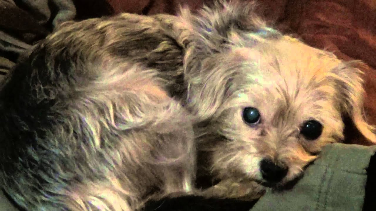 Beautiful Silky Terrier/Chihuahua Cross dog just being ...