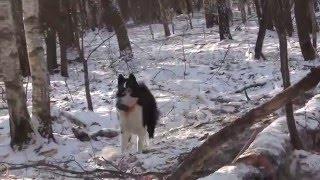 Будни охоты на куницу с лайками-4