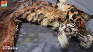 حول العالمفن و منوعات  إندونيسيا.. ضبط تجار  النمور والغزلان