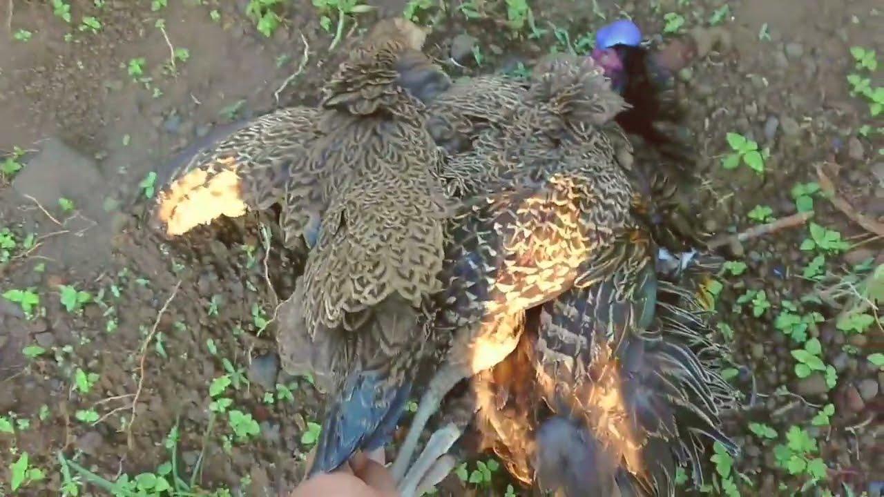 berburu  ayam hutan,poin 3 ekor