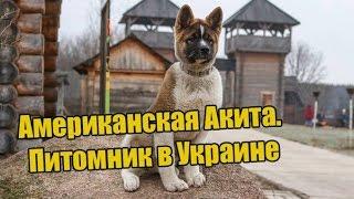 Американская Акита. Питомник В Украине Kievan Rus Akita