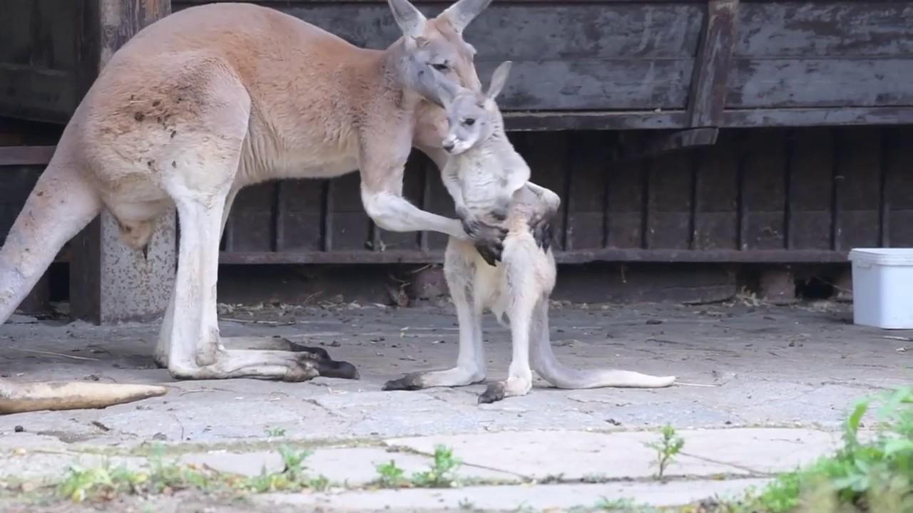 co za penis w kangur