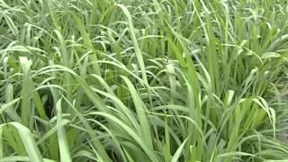 Improved forages for Central Coastal Vietnam