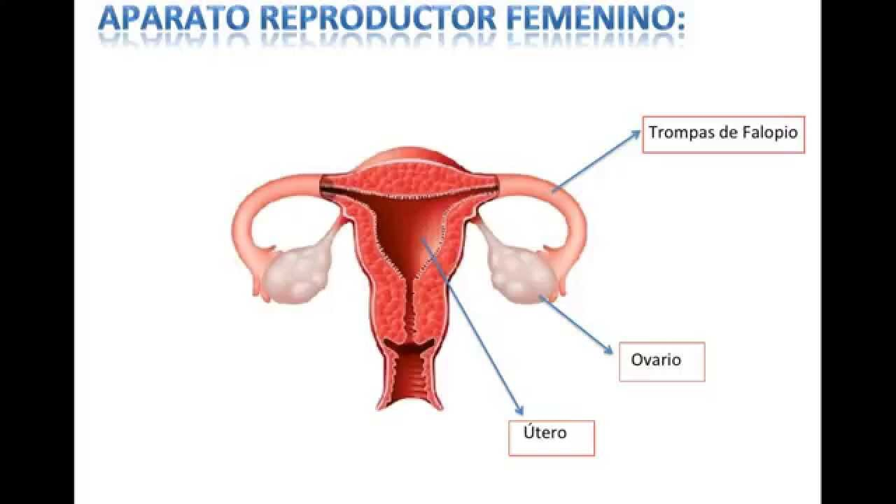 Aparato Reproductor Femenino y Masculino - YouTube