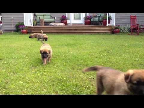 German Shepherd / Maremma / Great Pyrenees Puppies Running