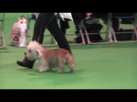 Dandie Dinmont Terriers at Crufts 2010 - Veteran Dog