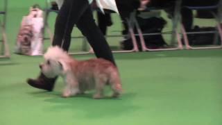 Dandie Dinmont Terriers at Crufts 2010  Veteran Dog